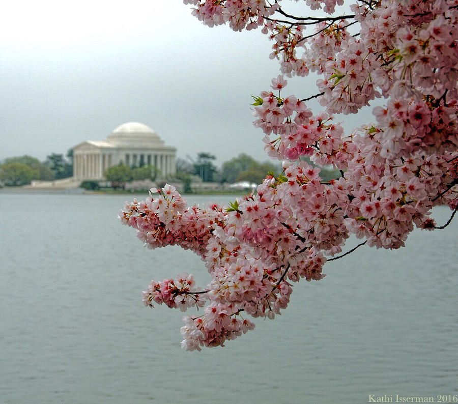 Cherry Blossoms Photograph - A Capital Cherry Blossom II by Kathi Isserman