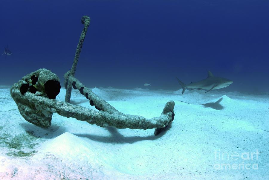 A Caribbean Reef Shark Swims Photograph