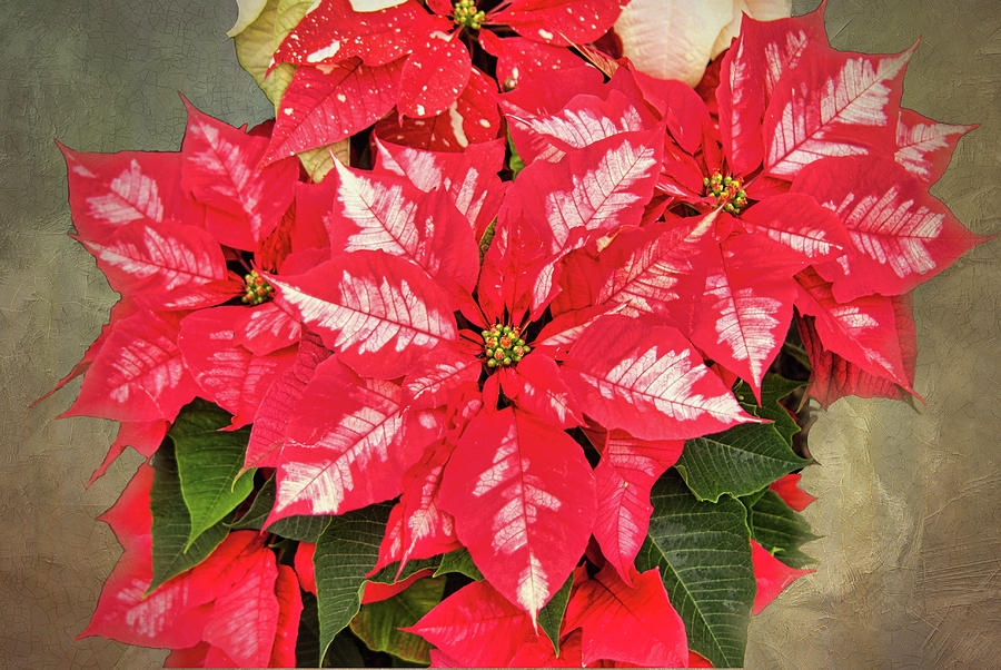 Christmas Photograph - A Christmas Flower by Phyllis Taylor