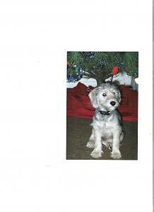 A Christmas Puppy Photograph by Carla Vigneau