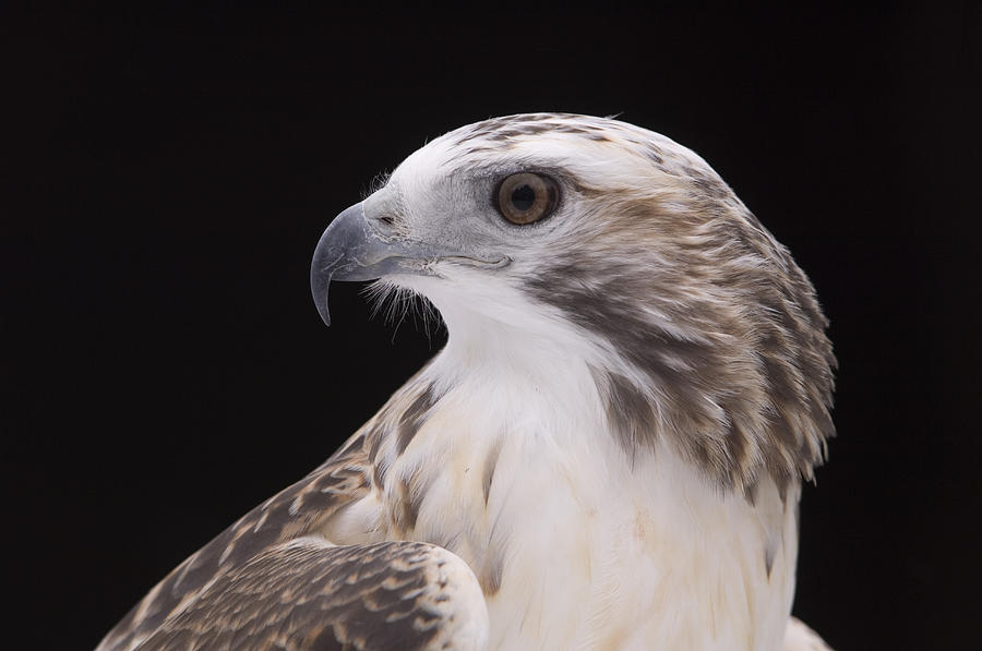 Nobody Photograph - A Close-up Of A Kriders Red-tailed by Joel Sartore