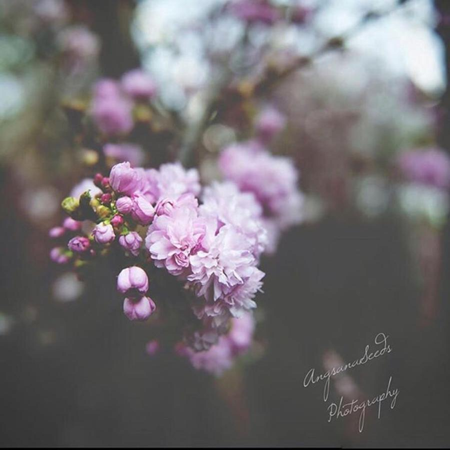 Cherryblossom Photograph - A Couple More #cherryblossom Photograph by Ivy Ho