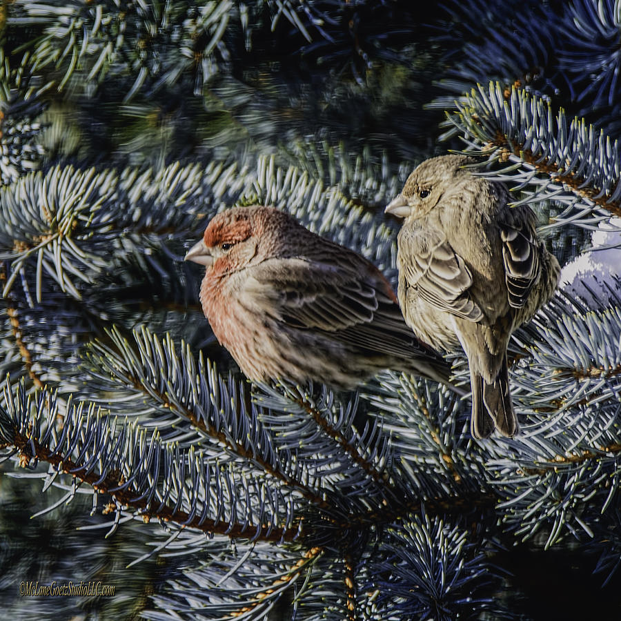Day Photograph - A Couple Of House Finch by LeeAnn McLaneGoetz McLaneGoetzStudioLLCcom
