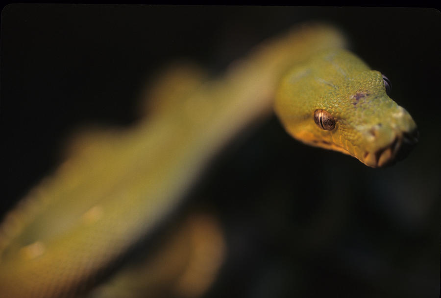 District Of Columbia Photograph - A Curious Immature Green Tree Python by Taylor S. Kennedy