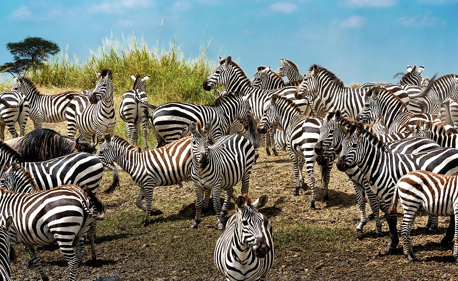 Zebras Photograph - A Dazzle Of Zebras by Pravine Chester