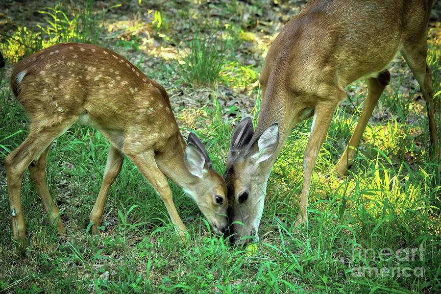 Canon Photograph - A Doe, A Deer by James Foshee