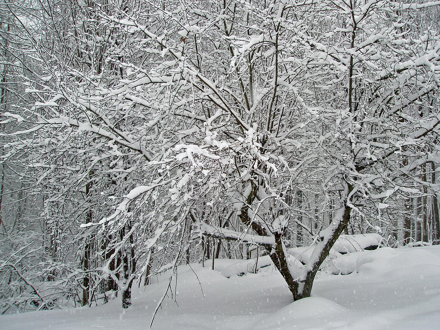 Snow Photograph - A Dogwood Sleeps While The Snow Falls by Mother Nature