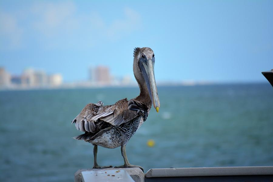 Pelican Photograph - A Face Only A Mother Could Love by Tamra Lockard