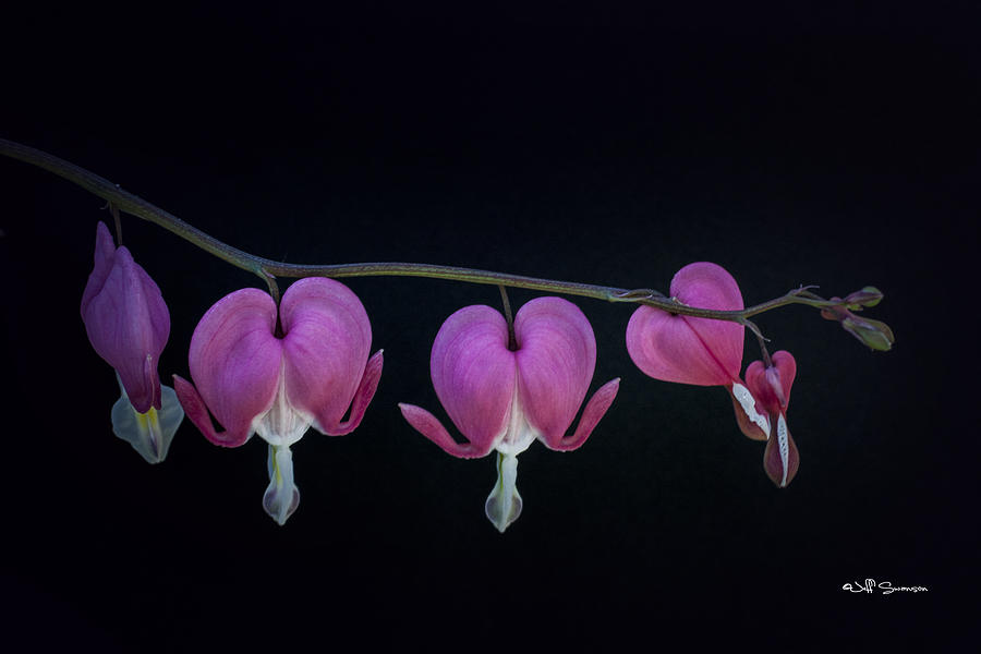 Flower Photograph - A Family Of Hearts by Jeff Swanson