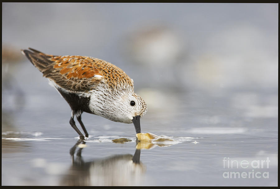 Bird Photograph - A Feeding Dunlin by Tim Grams