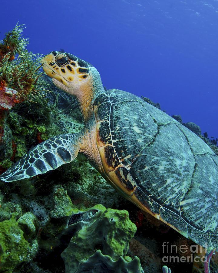 A Feeding Hawksbill Sea Turtle Photograph