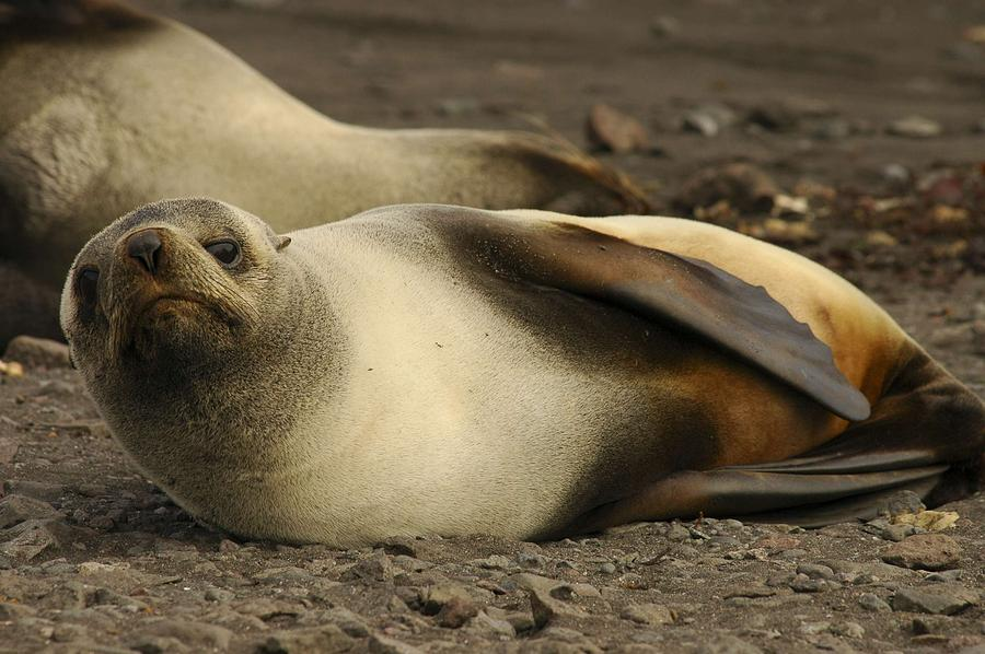Ice Painting - A Female Antarctic Fur Seal Sunning., By Noaa by Noaa