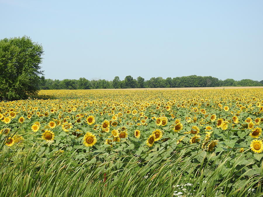 Sunflowers Photograph - A Field Of Smiles by Betty-Anne McDonald