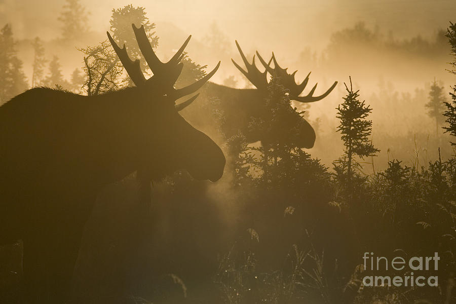 Moose Photograph - A Foggy Morning by Tim Grams