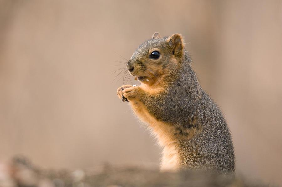Nobody Photograph - A Fox Squirrel Sciurus Niger Finds by Joel Sartore