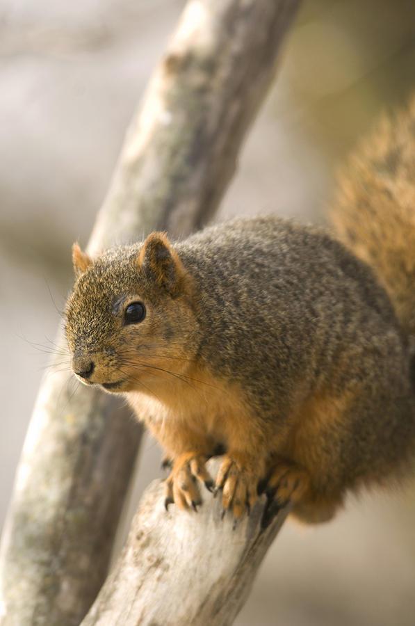 Photography Photograph - A Fox Squirrel Sciurus Niger Perches by Joel Sartore