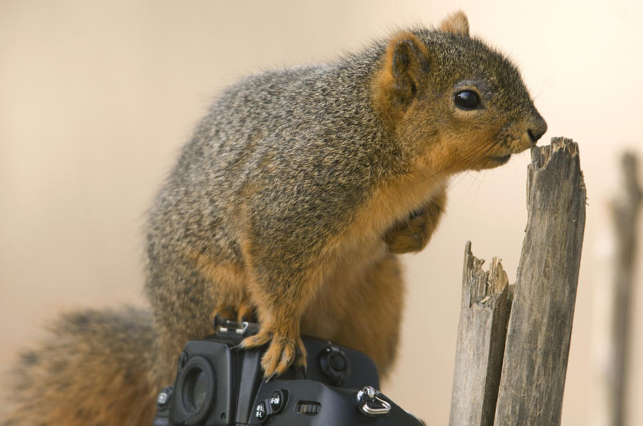 Nobody Photograph - A Fox Squirrel Sciurus Niger Sits by Joel Sartore