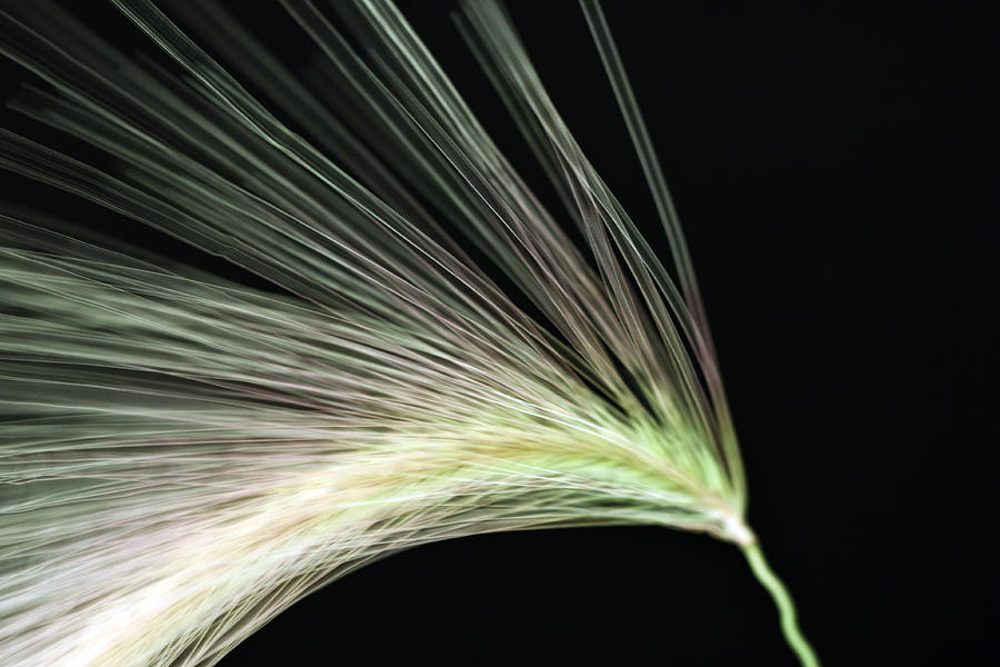 Foxtail Photograph - A Foxtail Seed In Flight - Macro by Sandra Foster