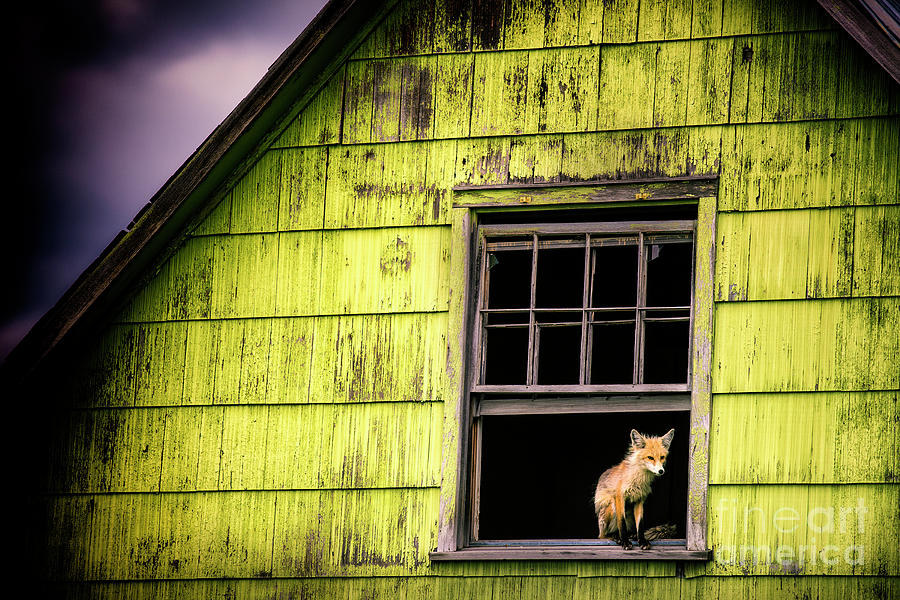A Foxy Window Photograph