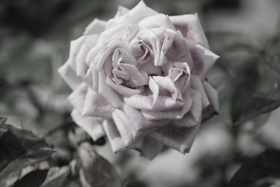 French Photograph - A French Manicure Almost Black and White Pale Pink Rose Photograph by Colleen Cornelius