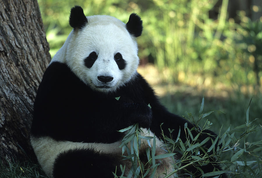 Giant Pandas Photograph - A Giant Panda Eating Bamboo by Taylor S. Kennedy