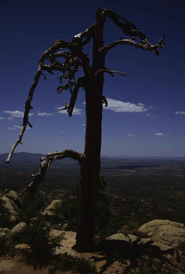Prescott Photograph - A Gnarled Tree In Arizona by Stacy Gold