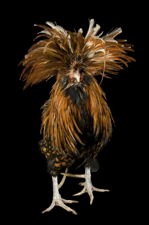 Davey Photograph - A Golden Polish Chicken by Joel Sartore