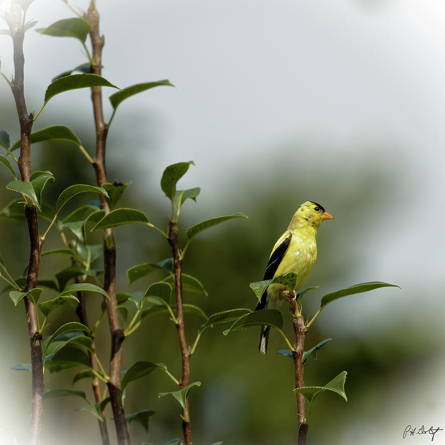 August Photograph - A Goldfinch In A Pear Tree by Phill Doherty