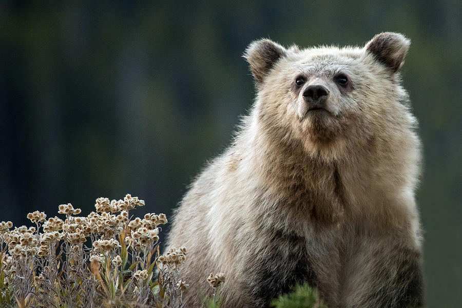 Grizzly Bear Photograph - A Grizzly Legacy by Sandy Sisti