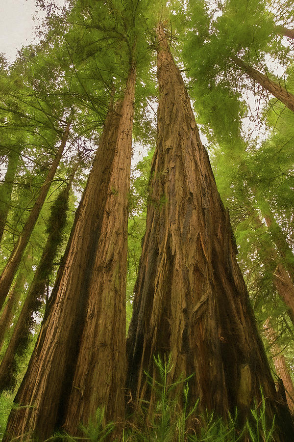 California Photograph - A Group Giant Redwood Trees In Muir Woods,california. Reaching F by Rusty R Smith