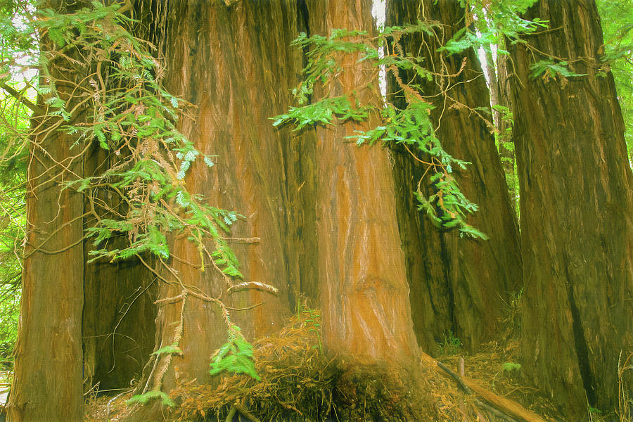 California Photograph - A Group Giant Redwood Trees In Muir Woods,california. by Rusty R Smith