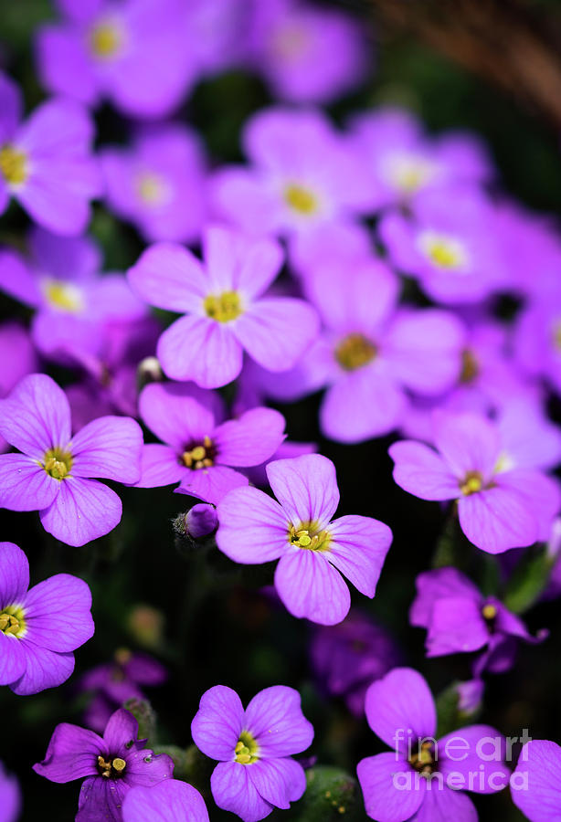 A Group Of Small Purple Flowers Photograph By Jozef Jankola