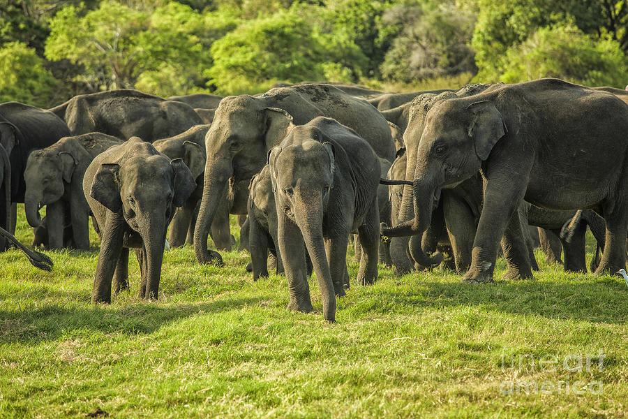 A Herd Of Asian Elephants Photograph