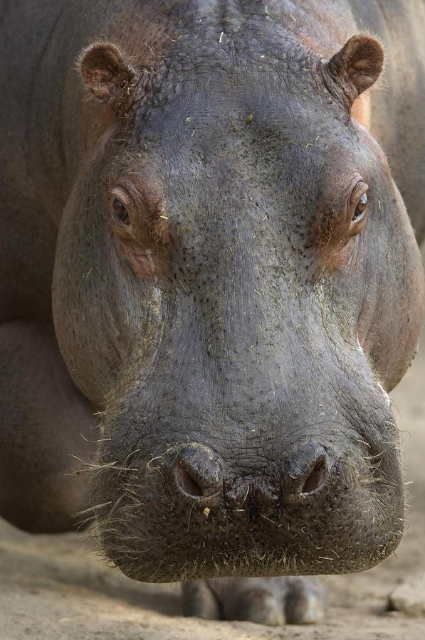 Nobody Photograph - A Hippopotamus At The Sedgwick County by Joel Sartore