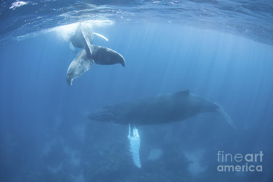 A Humpback Whale And Her Calf Photograph