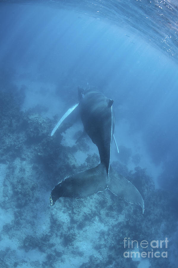 A Humpback Whale In The Caribbean Sea Photograph