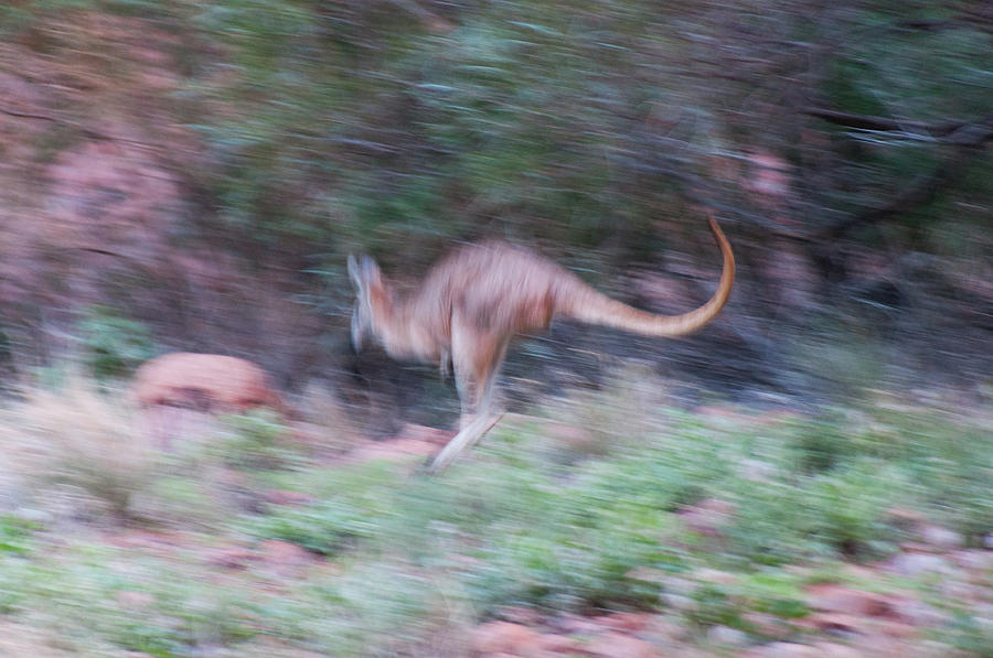 Australia Photograph - A Kangaroo Escaping In The Bush by Davide Devecchi