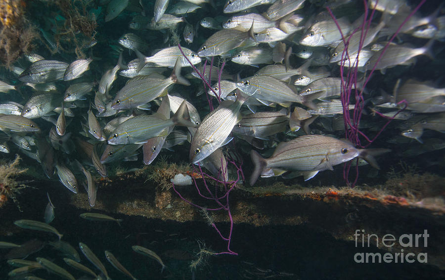 Fish Photograph - A Large School Of Tomtate by Michael Wood