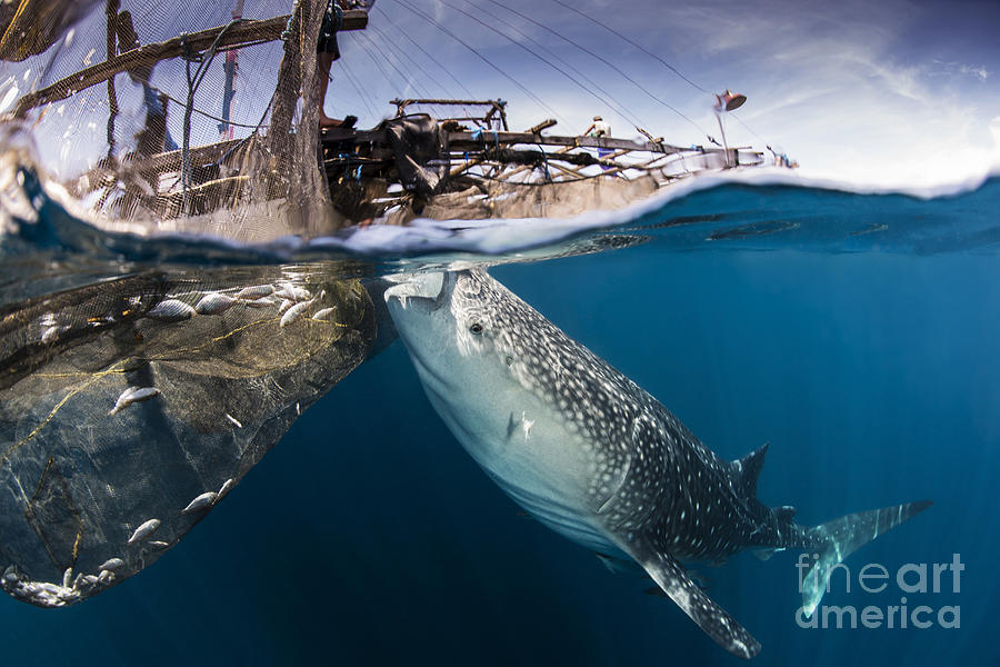 A Large Whale Shark Siphoning Water Photograph