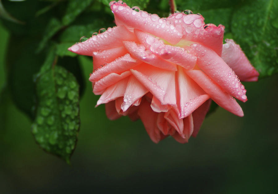 Flowers Photograph - A Light Rain by Terrie Taylor
