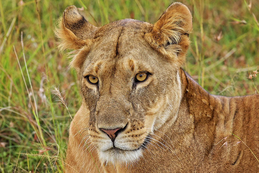 A Lioness in Kenya by Mitchell R Grosky