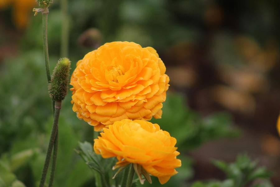 Flower Photograph - A Little Honey Ranunculus by Colleen Cornelius