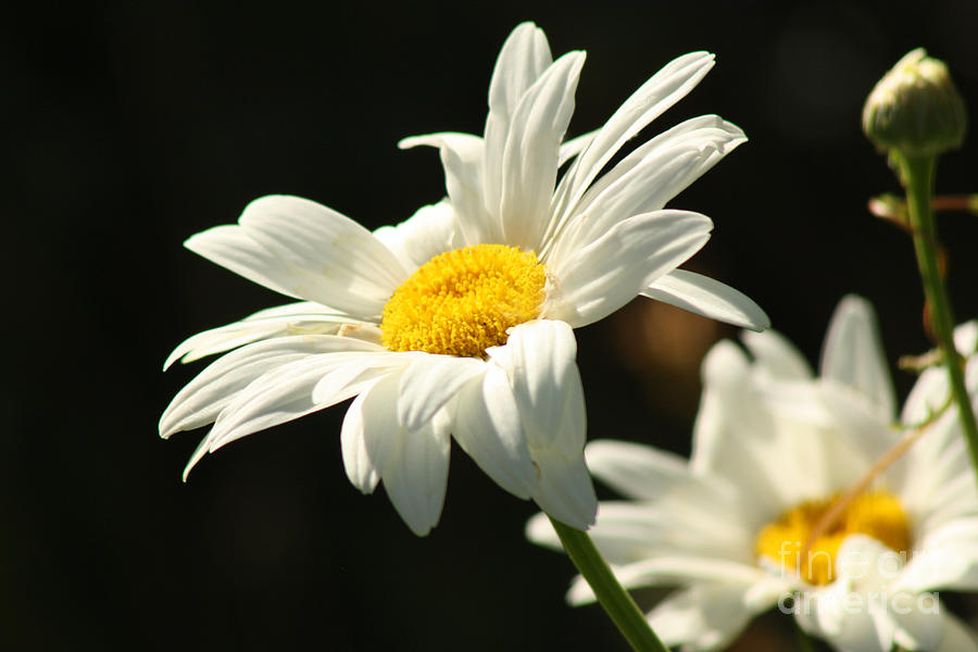 Daisy Photograph - A Little Less Than Perfect Sunshine Daisy  by Cathy  Beharriell