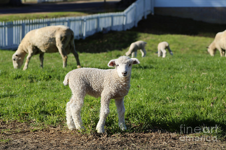 Colonial Williamsburg Photograph - A Longwool Lamb by Lara Morrison