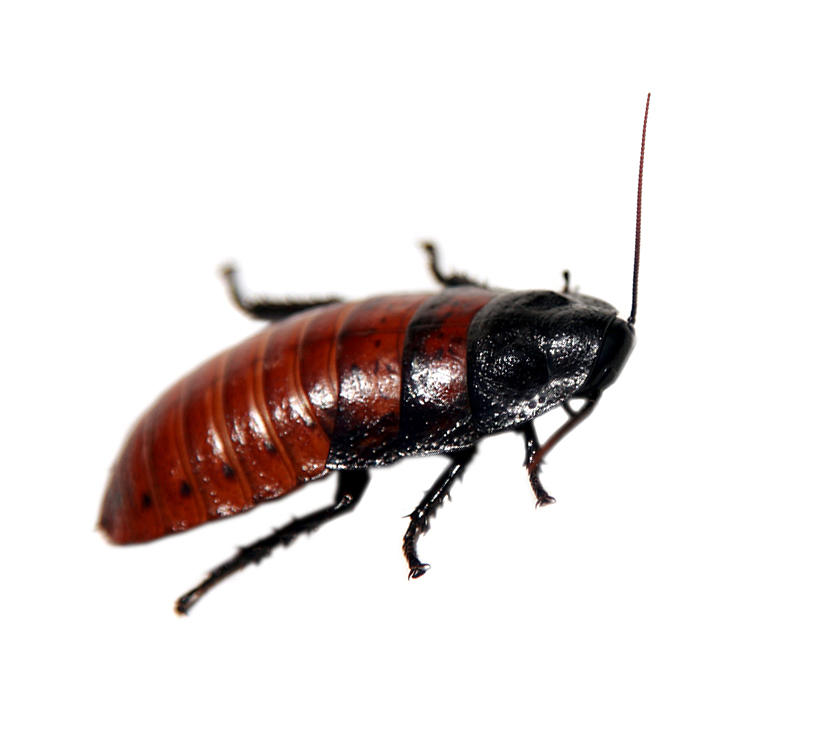Antenna Photograph - A Madagascar Hissing Cockroach by Michael Ledray