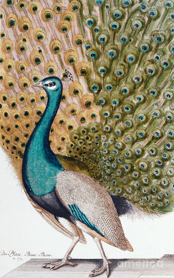 Peacock Painting - A Male Peacock In Full Display, 1763 by Johann Leonhard Frisch
