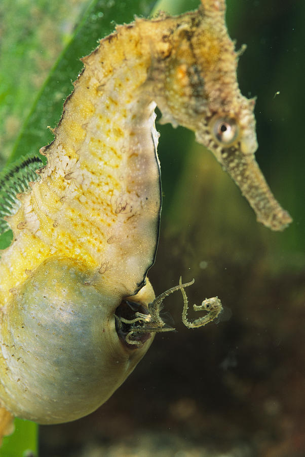 Underwater Photograph - A Male Sea Horse With Young Emerging by George Grall