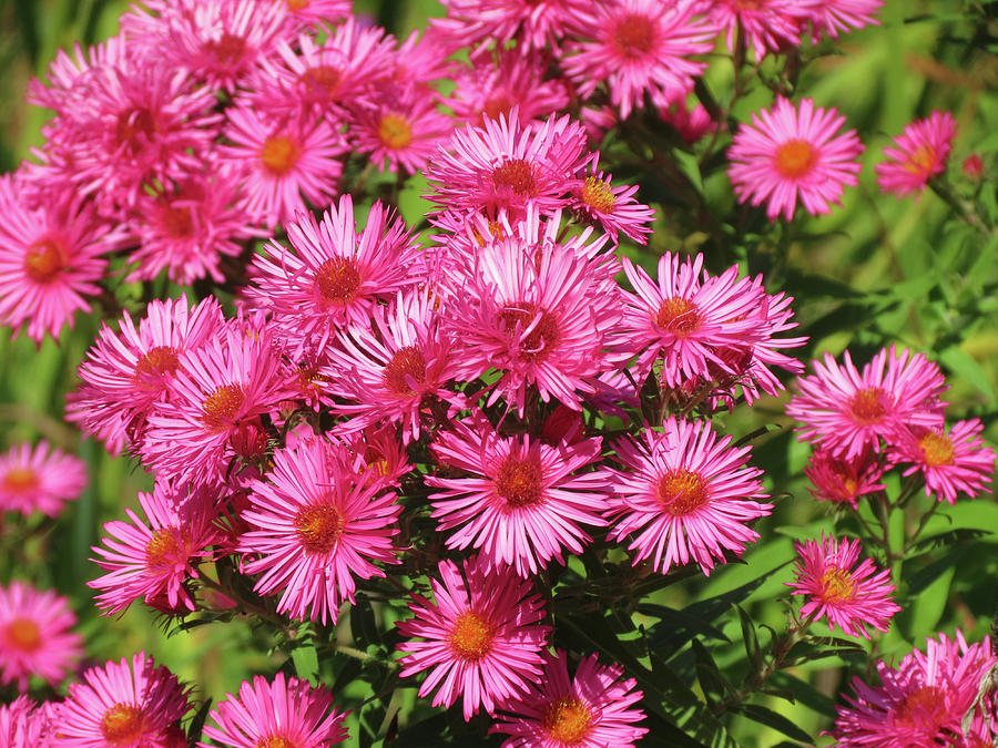 A Mass of Asters by MTBobbins Photography