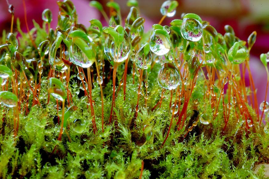 Forest Photograph - A Microcosm Of The Forest Of Moss In Rain Droplets by Yuri Hope