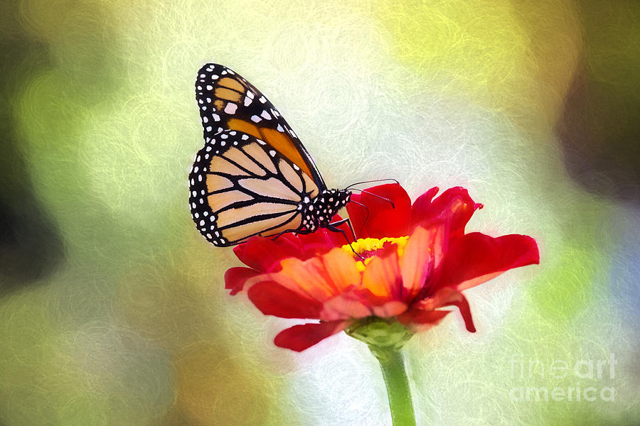 Nature Photograph - A Monarch Moment by Sharon McConnell